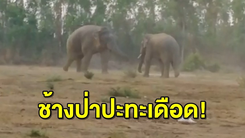 'เจ้าสิบล้อ' ช้างป่าสีดอปะทะเดือด ช้างวัยรุ่นตกมัน
