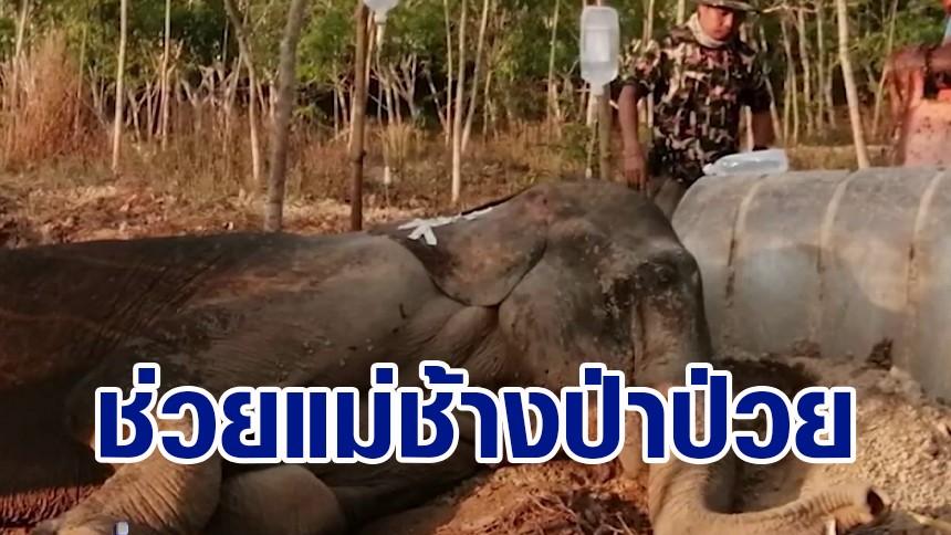 คลิป แม่ช้างป่านอนป่วยไม่ไหวติง ลูกเฝ้าไม่ห่าง ร้องคำรามใส่คนเข้าใกล้ จนท.เร่งช่วยเหลือ