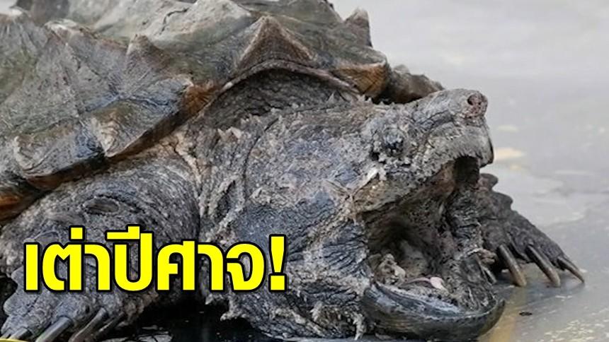 เต่าอัลลิเกเตอร์ โผล่แม่น้ำปราณบุรี หน้าตาประหลาด นิสัยดุร้าย กินเพื่อนเต่าด้วยกันเอง