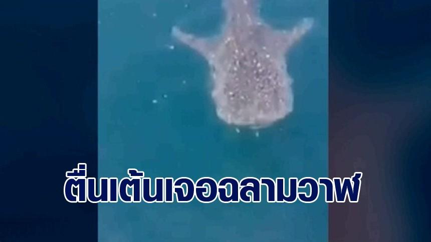 ตื่นเต้น! หนุ่มชาวประมง เจอ 'ฉลามวาฬ' โผล่กลางอ่าวทะเลพัทยา แถมใกล้ชิดแบบเอามือจับได้