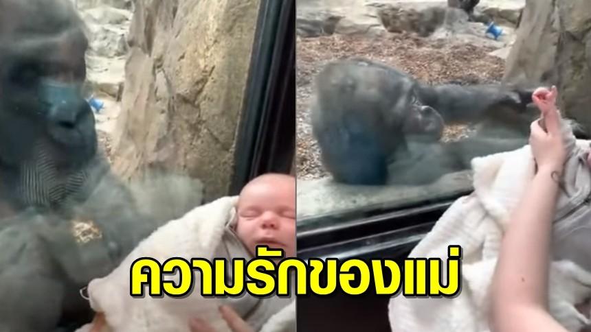 ความรักของแม่! คุณแม่อุ้มลูกเที่ยวสวนสัตว์ เจอแม่ลิงกอริลลาอุ้มลูกอวดมนุษย์ผ่านกระจก