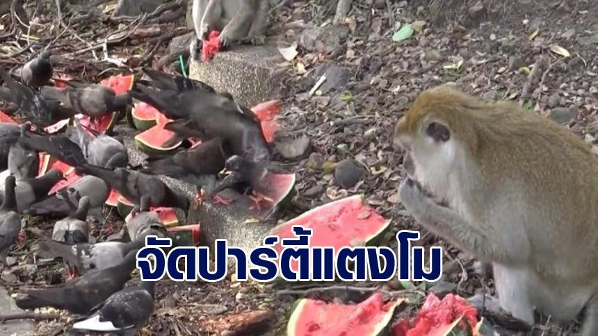 ผู้ใจบุญจัด 'ปาร์ตี้แตงโม' เลี้ยงฝูงลิง ที่ช่องเขาน้อย-เขาตังกวน งานนี้นกพิราบร่วมแจมด้วย