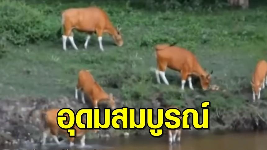 ฝูงวัวแดง 45 ตัว อ้วนท้วนแข็งแรง ออกมาหากินหญ้าอ่อน ในป่าห้วยขาแข้ง
