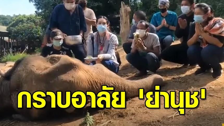 สุดเศร้า! ช้างย่านุช อายุ 83 ปี สิ้นลมแล้ว เจ้าของปางช้างแม่สา ก้มกราบอาลัย