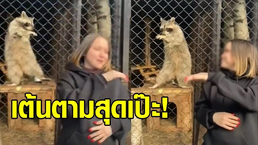 สุดน่ารัก แรคคูนสายแด๊นซ์ เต้นตามนทท.ที่มาเยี่ยมชมสวนสัตว์รัสเซีย