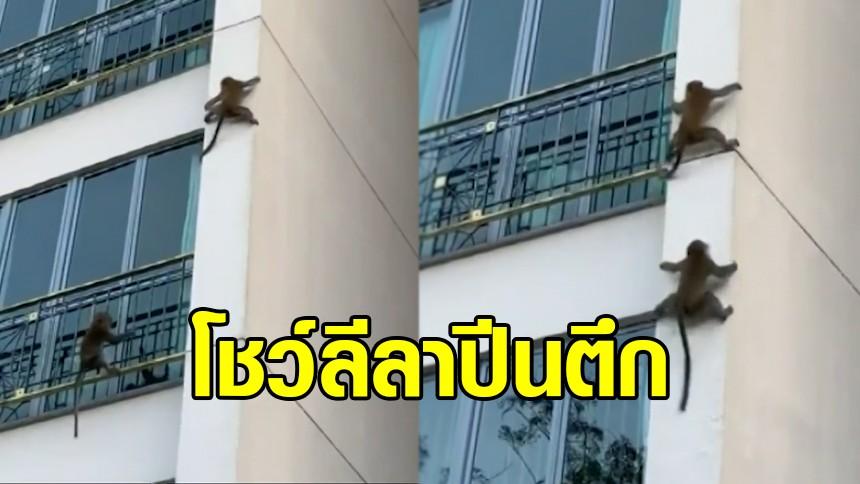 คลิปเจ้าลิงแสบคู่ดูโอ้ โชว์ลีลาปีนตึก เร็วปรู๊ดปร๊าดอย่างกับนินจา