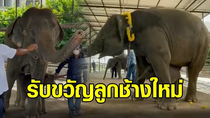 สวนนงนุช พัทยา รับขวัญลูกช้างใหม่ 'พลายนพเก้า' เลขมงคลเชือกที่ 99