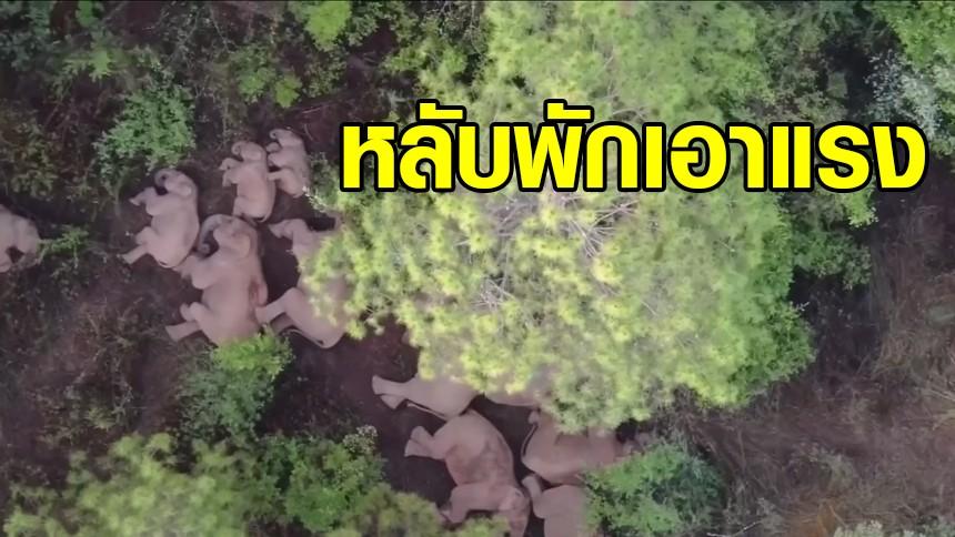 หลับอีกแล้ว! ภาพใหม่ แก๊งช้างป่าซุปตาร์ พักงีบกลางป่ายูนนาน หลังลัดเลาะเดินทางไกล