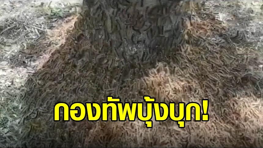 กองทัพหนอนบุ้ง รุมกัดกินต้นไม้ทั่วสวนในสหรัฐฯ