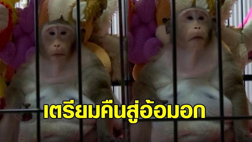 เจ้าของพร้อมรับ 'ก็อตซิลล่า' คืนสู่อ้อมอก ดูแลในช่วงชีวิตที่เหลือ หลังหมอชี้ลิงอ้วนเพราะโรค ไม่ใช่เพราะเลี้ยง