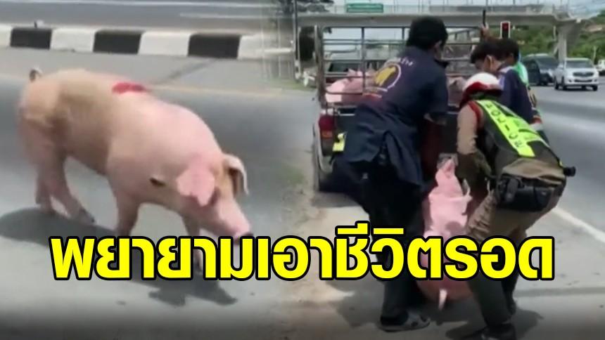 สะเทือนใจ! เจ้าหมูรักชีวิต หนีลงจากรถพาไปโรงฆ่าสัตว์ คนต้องวิ่งไล่จับกันวุ่นกลางแยกไฟแดง