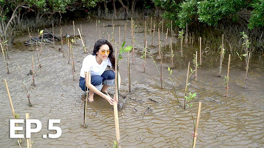 Mangrove ปลูกป่าชายเลน EP.5